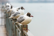 Black-headed Gull Surrounded By A Flock Stands On The Metal Fence Of The River Embankment On A Cloudy Day