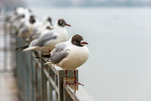 Black-headed Gull Stands On The Metal Fence Of The River Embankment On A Cloudy Day