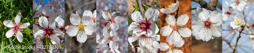 Flores de almendro Fototapet