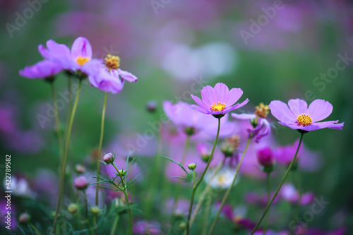 Fototapety, obrazy: purple and yellow flowers