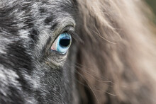 Blue Eye Of Appaloosa Breed Pony