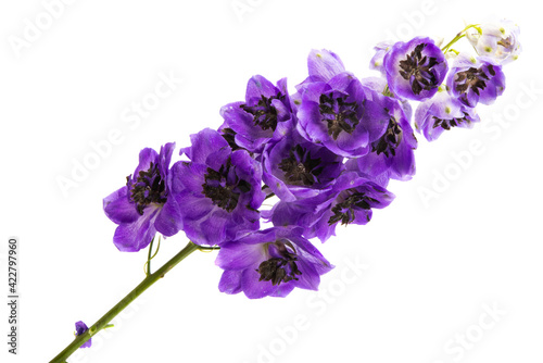 Foto delphinium flower isolated