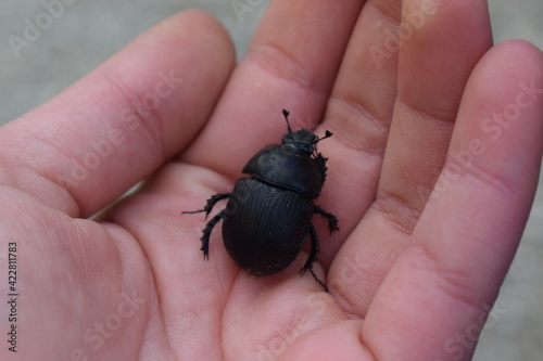 Obraz na plátne Geotrupes stercorarius, a species of earth-boring dung beetle, on the palm of a