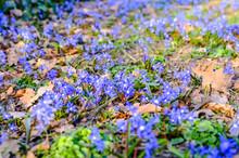 Liverwort Hepatica Nobilis, Anemone Hepatica On The Meadow