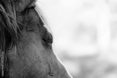 Fototapeta Sleepy horse closeup with eye closed for farm animal exhausted concept in black and white. obraz