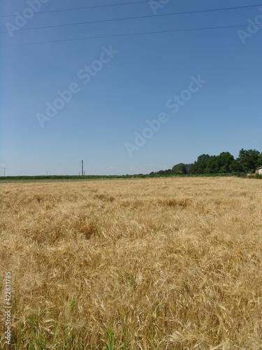 Fototapeta pole dojrzałe zboże lato żniwa obraz