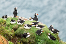 Couple Of Famous Faroese Birds - Puffins