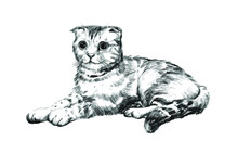 Scottish Fold Cat, Black And White Hand Drawing, Realistic Sketch Of A Cat, Isolated Illustration On A White Background,
