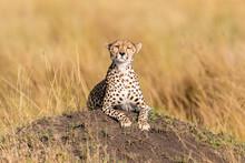 Selective Focus Shot Of A Cute Cheetah Cub Staring At The Camera
