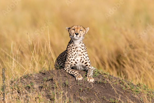 Fotografie, Tablou Selective focus shot of a cute cheetah cub staring at the camera