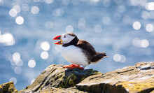 Atlantic Puffin Relaxing On A Cliff Under Sunlight. Farne Islands, England. UK. Close Up Photo, Selective Focus