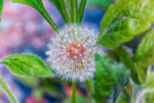 Beautiful Dandelions, Dandelions After Flowering, Dandelion Fluff