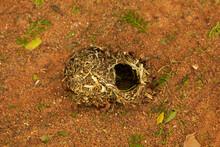 African Bird Nest Fallen To The Ground Black-headed Yellow Weaver