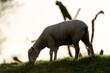 canvas print picture - Schaf grast auf dem Deich im Sonnenuntergang