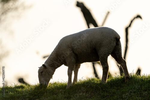 Canvas Print Schaf grast auf dem Deich im Sonnenuntergang