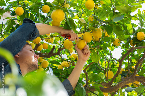 Fototapeta Smiling young man farmer harvesting, picking lemons in the orchard obraz