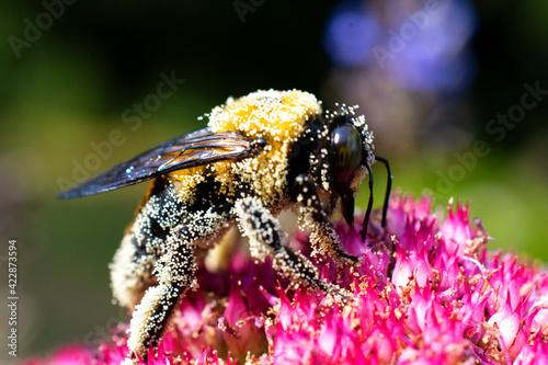 Big Bumble Bee Covered in Pollen Fototapet