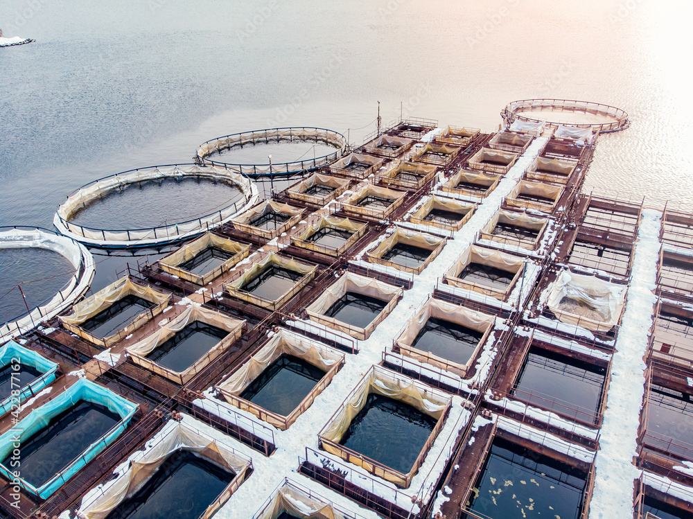 Fototapeta Farm fish salmon and sturgeon aquaculture blue water floating cages. Aerial top view