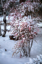 Heavenly Bamboo Covered In Snow In Winter At Prescott, Arizona