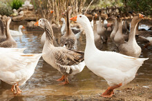 Flock Of Geese Walking On Shore Of Pond On Poultry Farm