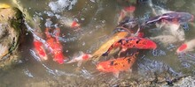 Photo Of Fancy Carp In River