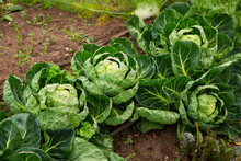 View Of Young Organic Cabbage Cultivars Ripening In Vegetable Garden..
