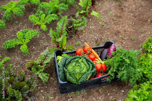 Photo Plastic box with fresh organic vegetables standing on fertile soil in kitchen garden