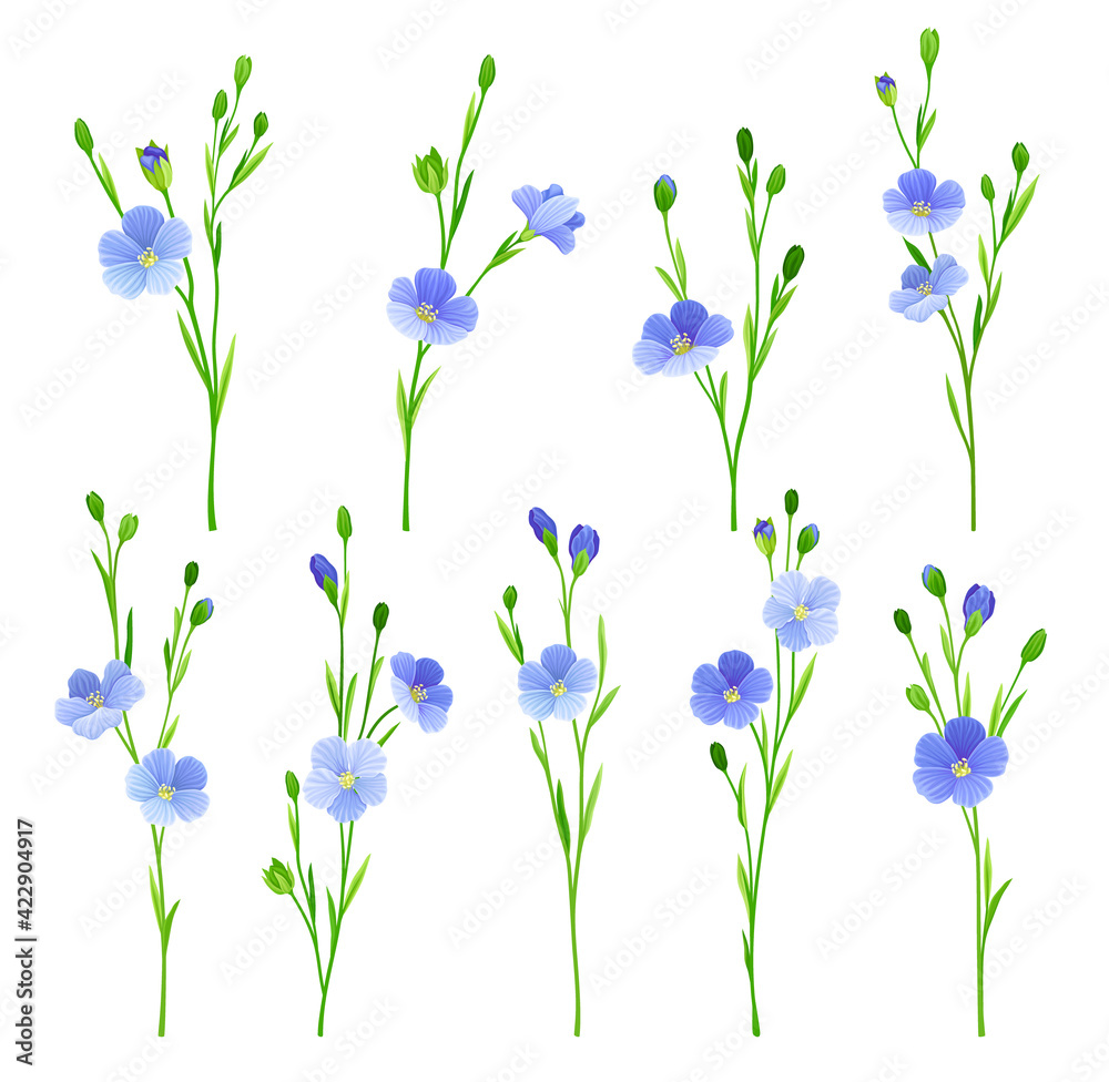 Fototapeta Flax or Linseed as Cultivated Flowering Plant Specie with Pale Blue Flowers on Stem Vector Set