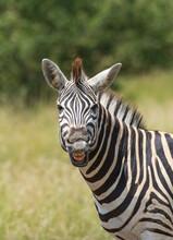 Cheaky Burchell's Zebra Pulling A Grimace, Kruger National Park.