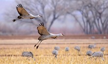 Two Sandhill Cranes Coming In For Landing In A Corn Field In Their Winter Habitat Of Bernardo State Wildlife Refuge Near Socorro, New Mexico