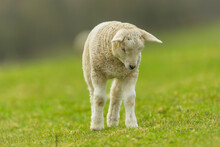 Lamb In Springtime.  An Inquisitive Young Lamb Stood Up And Looking  Down At  A Buzzing Insect.  Facing Forward. Close Up.  Clean Background. Space For Copy.