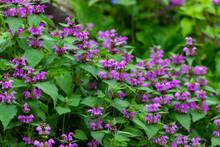 Purple Flowers Of Lamium Maculatum Creeping Groundcover Plant