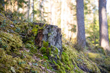 An Old Tree Stump Is Covered In A Moss Coniferous Forest, A Beautiful Landscape With Spring Sunlit Trees In A Blurred Background.