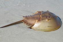 Horseshoe Crab On Florida Atlantic Coast