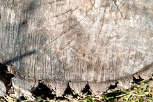 Cross Section Of Wood, Close-up Like Texture For Background