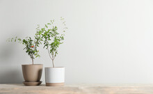 Young Potted Pomegranate Trees On Wooden Bench Near White Wall Indoors, Space For Text