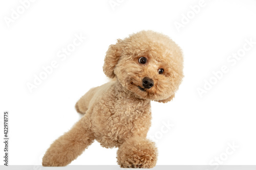 Fotografie, Tablou Cute puppy of Maltipoo dog posing isolated over white background
