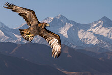 Golden Eagle Flying With Tien Shan Mountains In The Background Near Bishkek, Kyrgyzstan