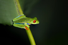 Red Eyed Tree Frogs Resting On Leafs In A Night In  Costa Rica
