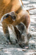 Red River Hog (Potamochoerus Porcus) Grubbing Around In The Dirt