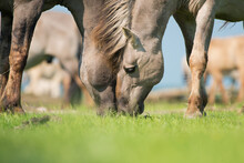 Close Up Of Two Konik Horses Leaning With Their Head Together  While Eating On A Sunny With With Blue Sky And Sunshine
