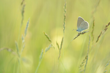 Clover blue butterfly resting in a grassfield