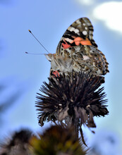 Admiral Butterfly On A Flower