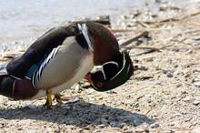 Male Wood Duck Preening On A Beachhead