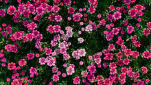 Multicolored Flower Background. Floral Wallpaper With Pink Roses. 3D Render