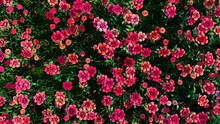Multicolored Flower Background. Floral Wallpaper With Red Roses. 3D Render