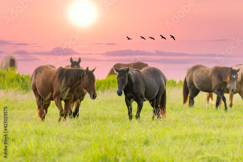 Fototapeta Thoroughbred horses grazing at sunset in a field. obraz