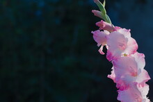 Blooming Gladiolus. White Petals With Pink Edges.