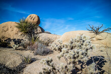 Teddy Bear Cholla Cactus In Joshua Tree National Park