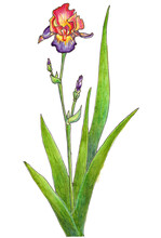 Watercolor Illustration Of Purple Yellow Iris Flower Isolated On White Background